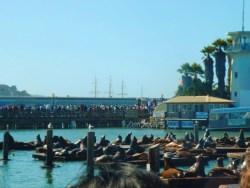 Sea Lions at Pier 39 San Francisco 1