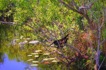 Alligator and Shorebird in swamp Everglades NPS Shark Valley 1