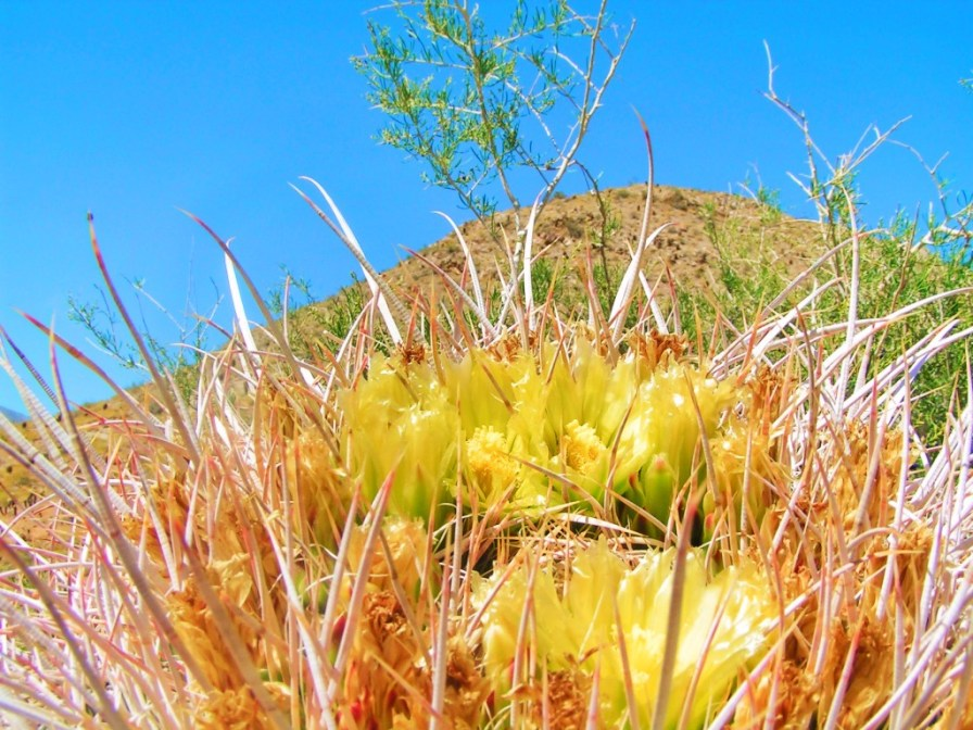 Barrel Cactus flowers at Agua Caliente Palm Springs 2