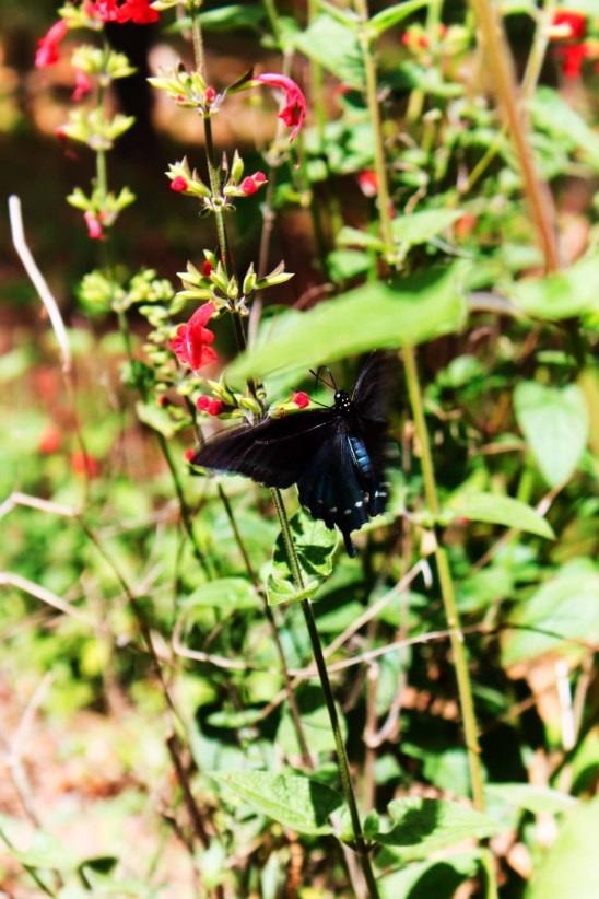 Blue and Black Butterfly in Garden at Rainbow Springs State Park 1