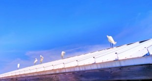 Egrets on Pier at Fort De Soto Park Pinellas County Florida 2