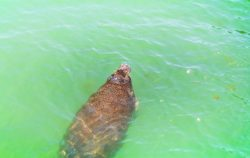 Manatee from Pier at Fort De Soto County Park 3