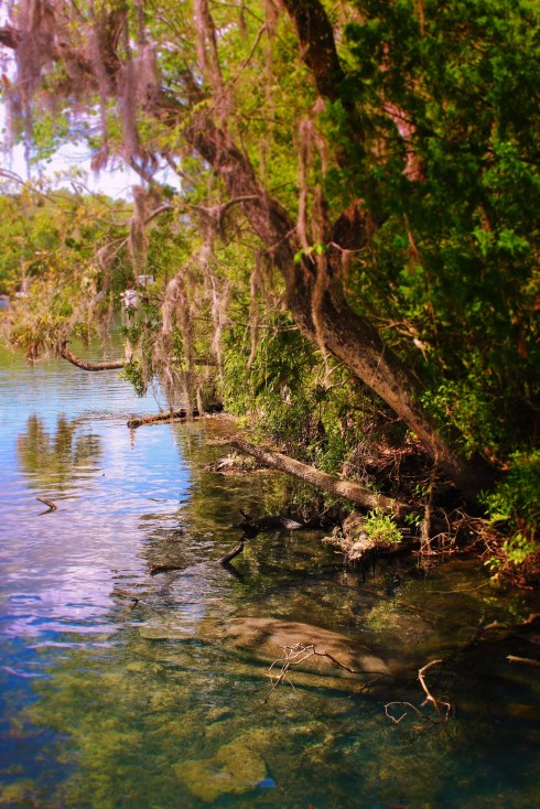 Manatee in river at Homosassa Springs State Park Florida 2