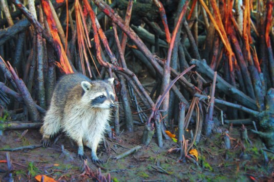 Raccoons in Mangroves Airboat Ride Everglades City Florida 3