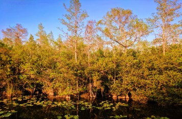 Still water in Big Cypress National Preserve 1 (1)