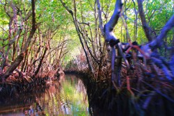 Traveling through Mangroves Airboat Ride Everglades City Florida 1