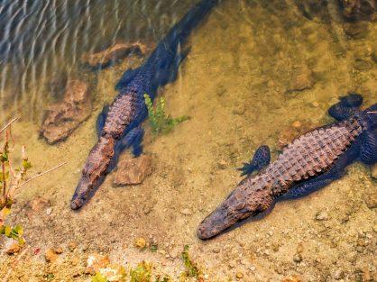 Resting Alligators at Sunset in Big Cypress National Preserve 2