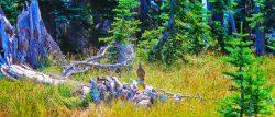 Grouse at Hurricane Ridge Olympic National Park 1