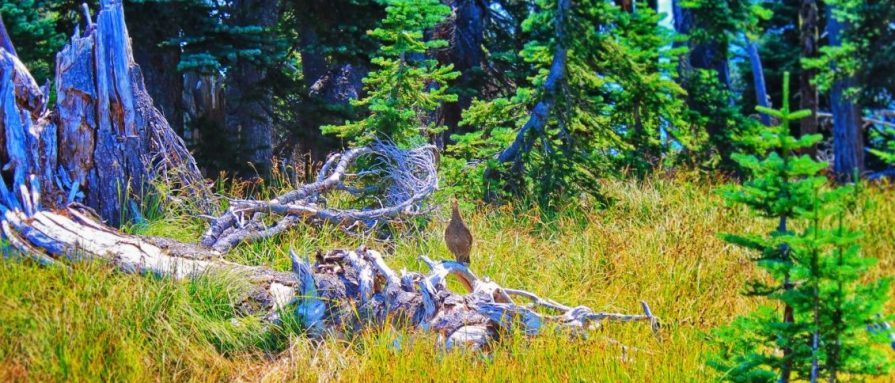 Grouse at Hurricane Ridge Olympic National Park 1