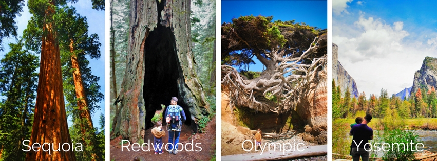Giant Trees in National Parks infographic