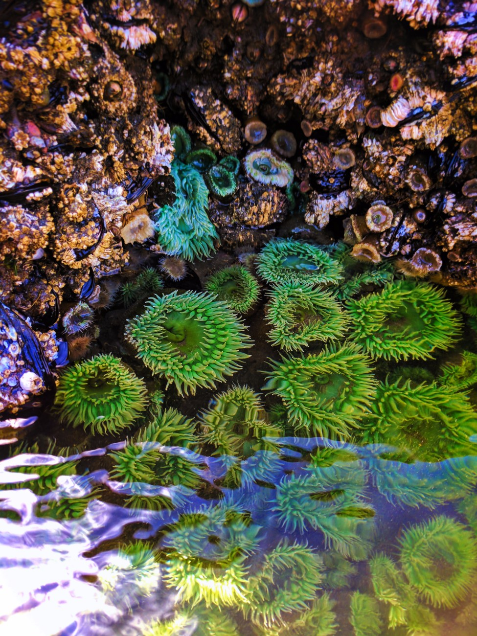 Sea Anemones in tidepools at Ruby Beach Olympic National Park 4