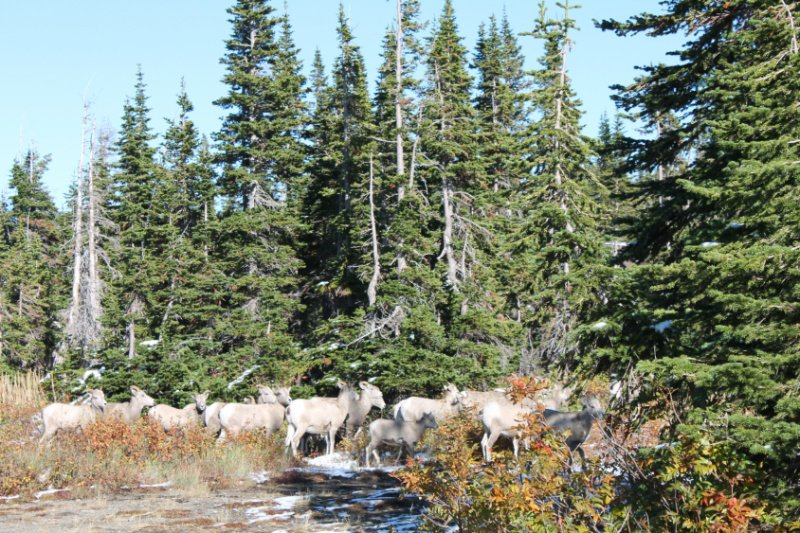 Bighorn Sheep flock at Two Medicine Glacier National Park