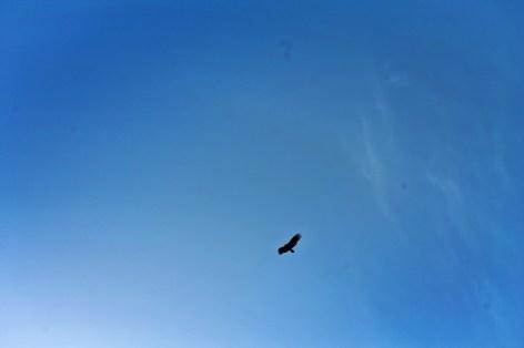 California Condor soaring in Pinnacles National Park 1