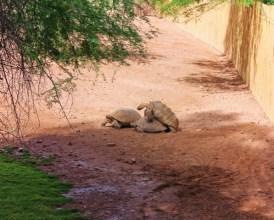 Tortoises at Phoenix Zoo 1