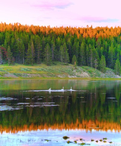Trumpeter Swans on river in Yellowstone National Park Wyoming 1