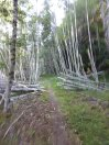 Zooming through aspen groves on Smith Creek trail.