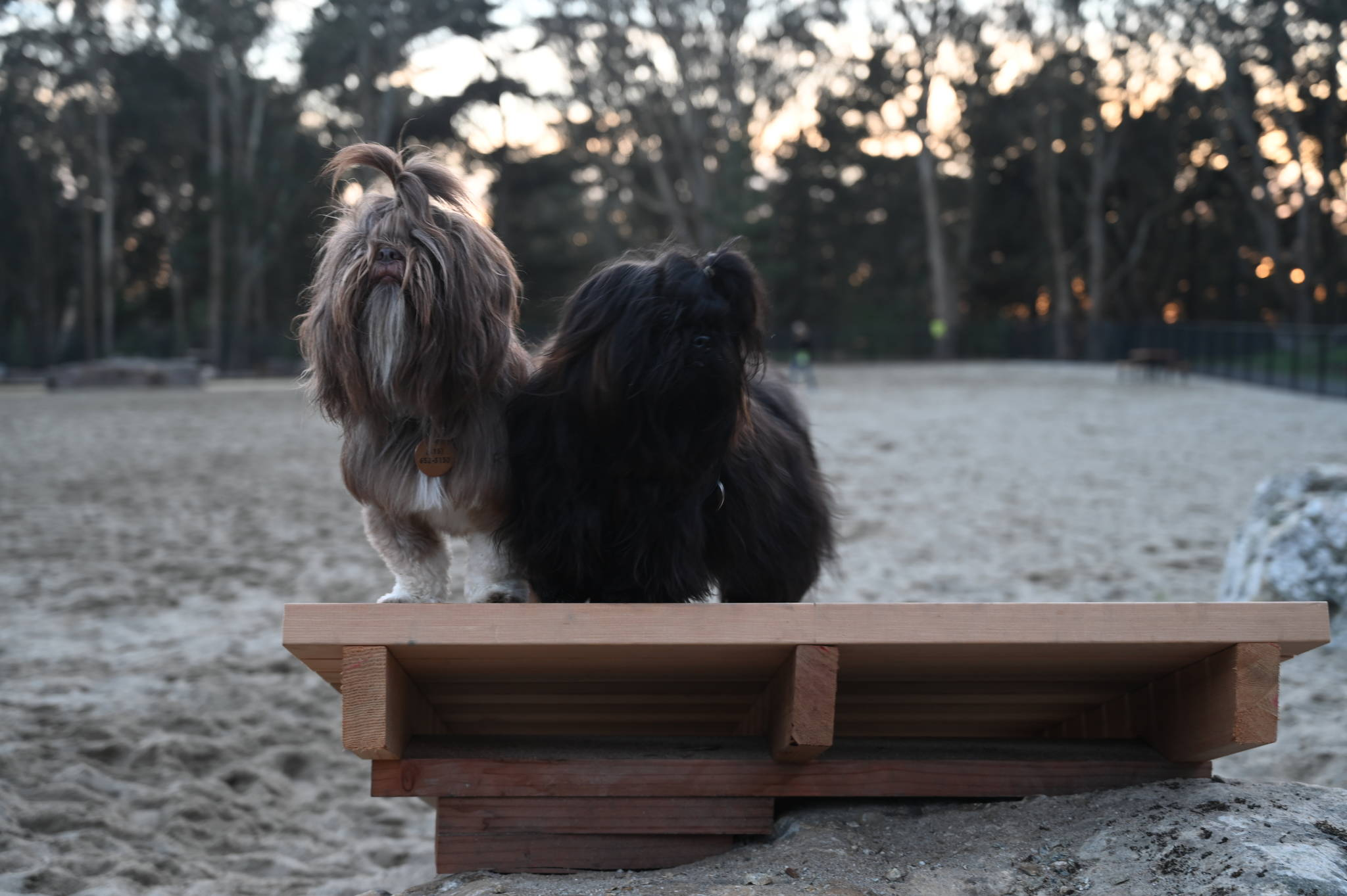 Jennifer Kurrie commanded Mouse and Montana sit on a platform for treats on Saturday at the new Golden Gate Dog Training Area. (Samantha Laurey/Special to SF Examiner)