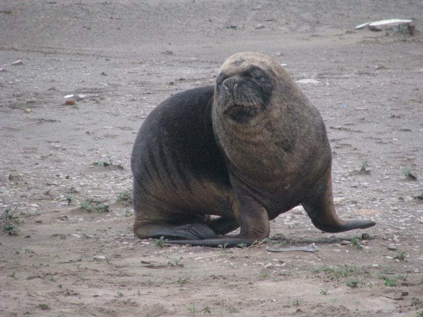 Lobo de mar en Mar del Plata