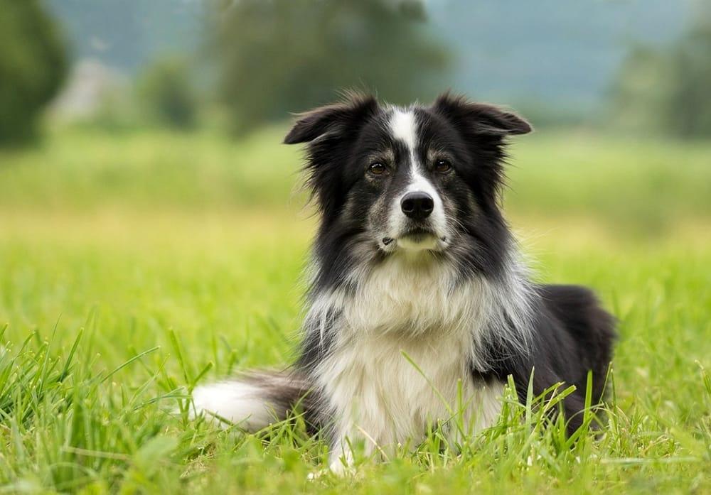 Le Cinque Razze Di Cani Più Intelligenti Del Mondo