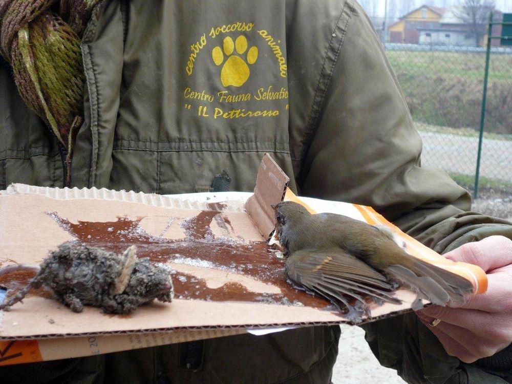 Colla Per Catturare I Topi Centro Fauna Vietate Negli