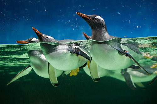 Gentoo Penguins by Connis and Arthur