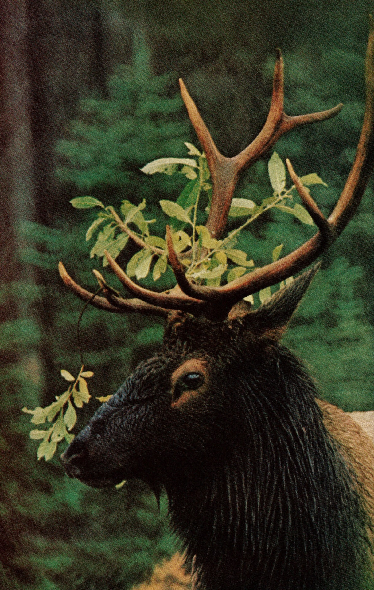Elk with Willow Crown