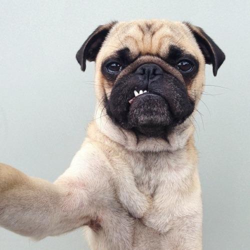 pug selfie