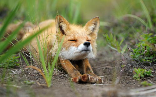 isawatree:</p> <p>Stretching fox. by  Igor Shpilenok</p> <p>GOOD MORNING!<br /> READY FOR THE DAY.