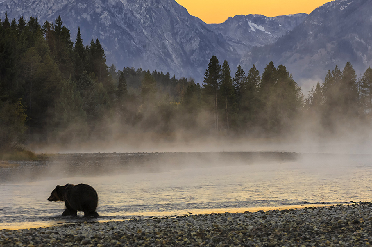 A Grizzly Bear crossing the Snake River at sunrise in the Grand Teton National Park.   Photo: Donald Higgs (www.sharetheexperience.org)