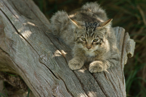 animals-animals-animals:</p><br /><br /> <p>Scottish Wildcat(by Peter G Trimming)