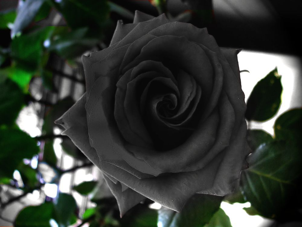 flowers travel rare roses science plants Legends tourism black rose     flowers travel rare roses science plants Legends tourism black rose  folklore symbols turkish black roses mysteries