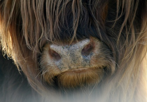 soniabicker:</p> <p>The wildness and gentleness of the highland cow.</p> <p>My nose smells a good book.<br /> THE DEAD GAME