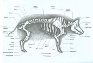 Pig Pre LabLab  Mr T Science