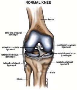 normal -knee-ACL