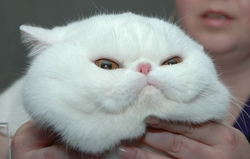 Image result for chubby cat