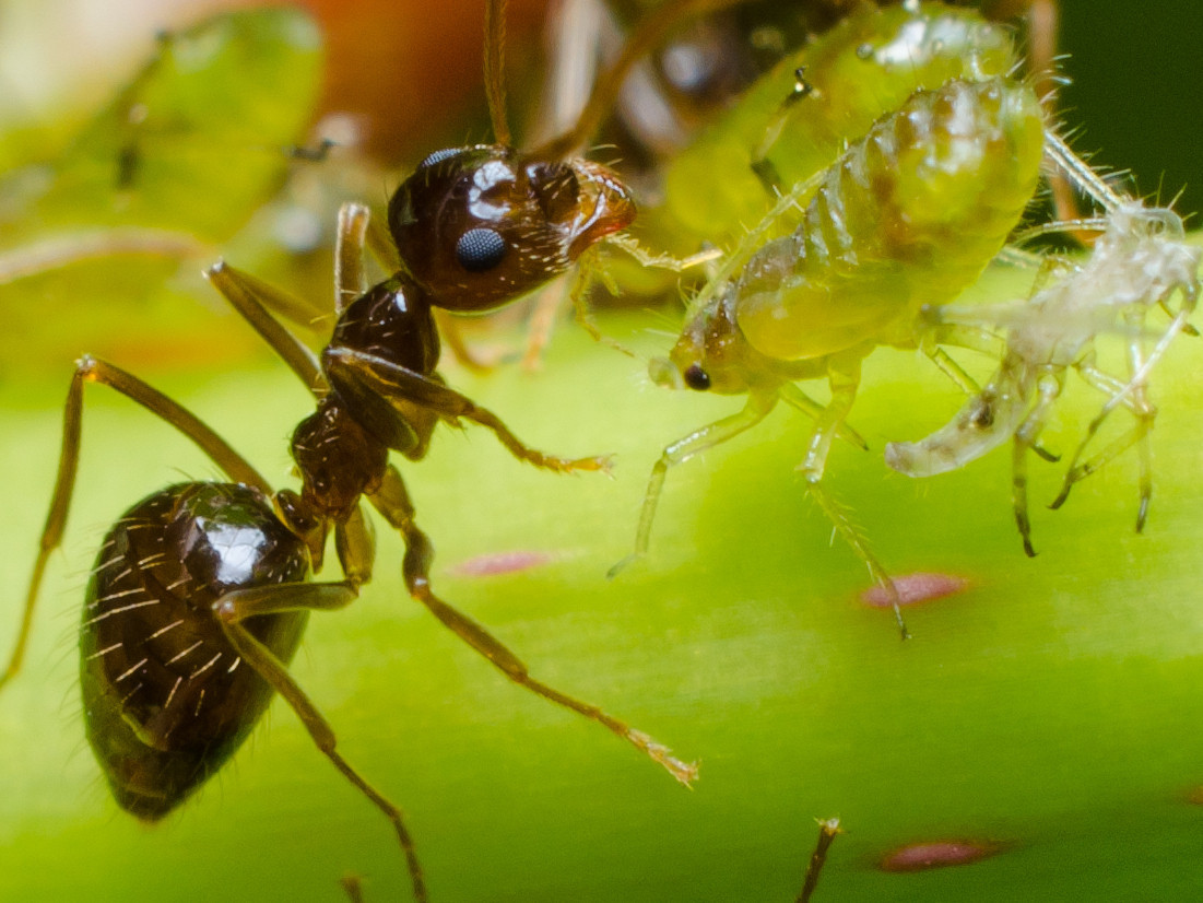 An ant taking care of one of its aphids - Dan Simon