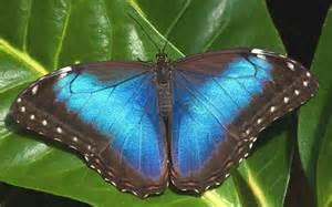 BLUE MORPHO