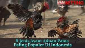 5-Jenis-Ayam-Aduan-Pama-Paling-Populer-Di-Indonesia