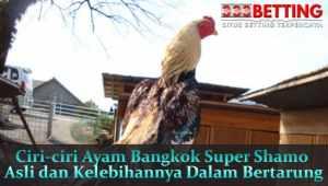 Ciri-ciri-Ayam-Bangkok-Super-Shamo-Asli-dan-Kelebihannya-Dalam-Bertarung