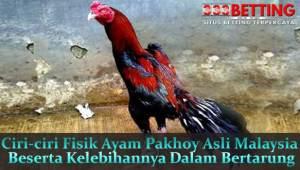 Ciri-ciri-Fisik-Ayam-Pakhoy-Asli-Malaysia-Beserta-Kelebihannya-Dalam-Bertarung