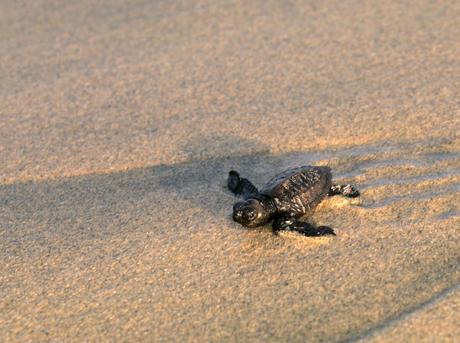 MID_205593steve-morello-marine-turtle-threat