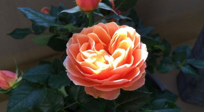 春のバラ ~フォーエバー・シリーズ Vol.1~