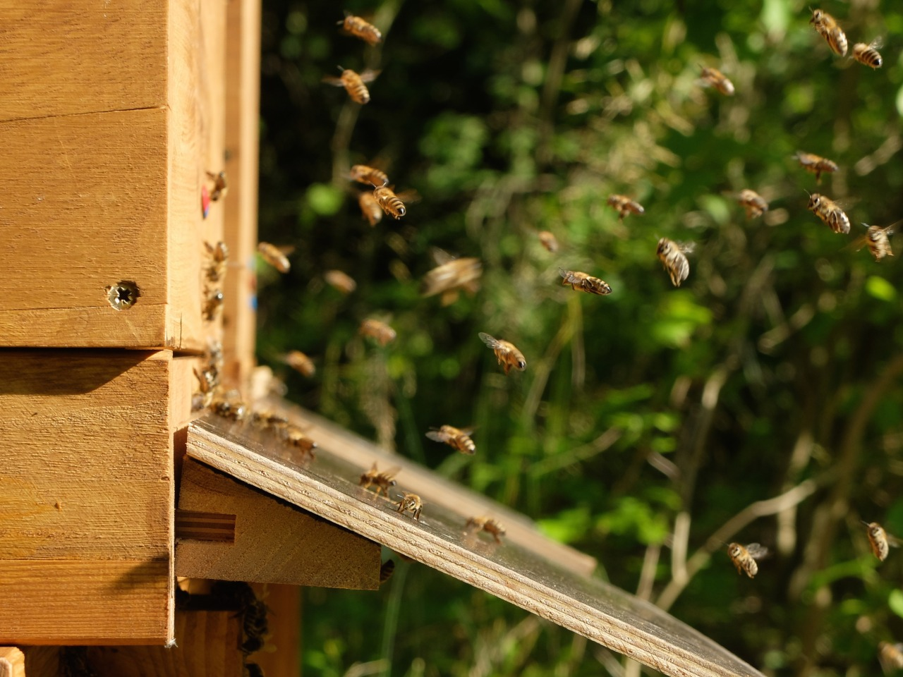 mangia minga // 'Bees seeking asylum'