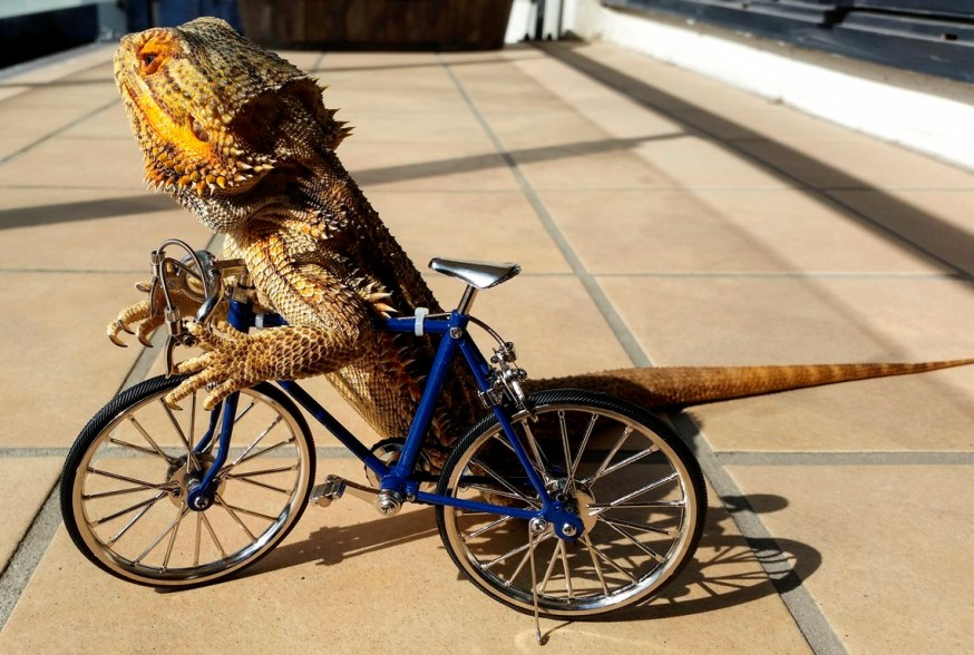 Conoce Pringle, el dragón barbudo más querido de la red | VoxPopulix.com