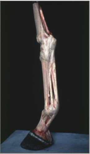 digital flexor tendons