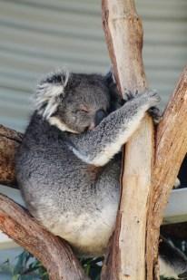 Koala relaxing