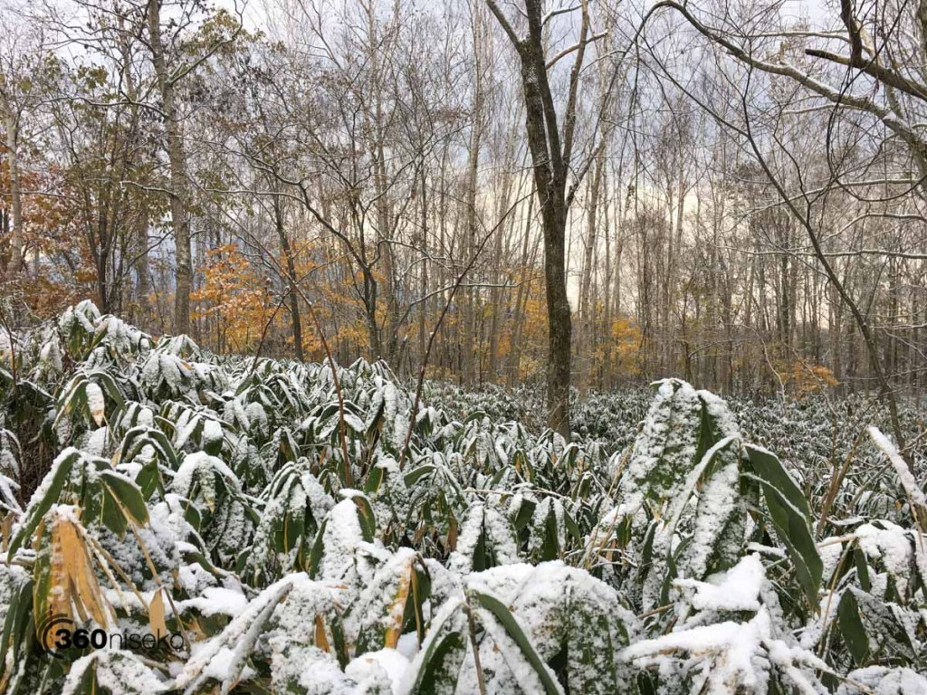 Sasa covered in fresh snow, 30 October 2016
