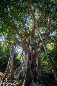 Son Tra Banyan Tree 800 years old
