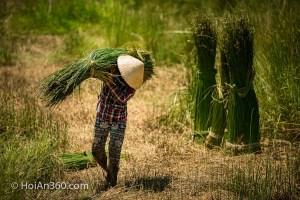 Hoi An Countryside - Sedge Harvest