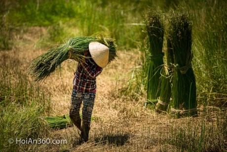 Hoi An Countryside - Sedge Harvest